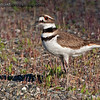 """""""K"""" is for Killdeer   Protecting nest in a park Near Olympia, Wa. (Previously un-processed shot from 2012)."""