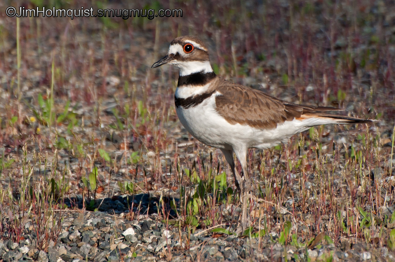 """""""K"""" is for Killdeer <br /> <br /> Protecting nest in a park Near Olympia, Wa. (Previously un-processed shot from 2012)."""