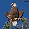 Bald Eagle - near Olympia, Wa. Taken in 2012.