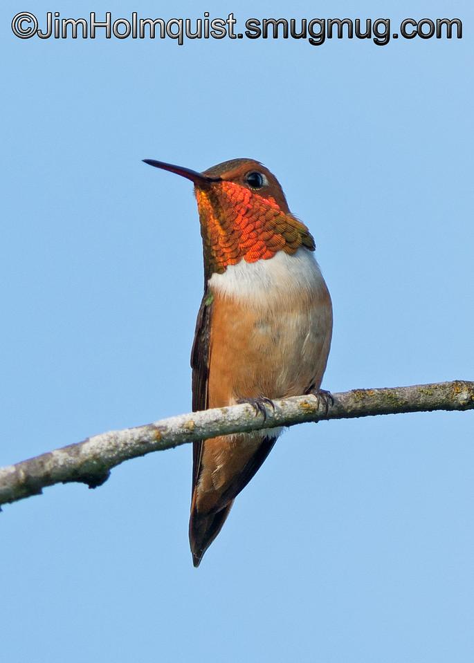 Male Rufous Hummingbird - taken near Olympia, Wa.<br /> <br /> I really appreciate the comments!