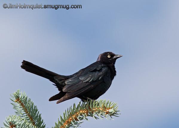 Brewer's Blackbird - taken near Pocatello, ID.  I really appreciate the comments!