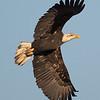 Bald Eagle - near Olympia, Wa.  I really appreciate the comments!