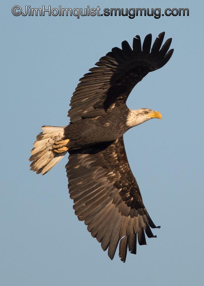 Bald Eagle - near Olympia, Wa.<br /> <br /> I really appreciate the comments!