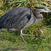 Great Blue Heron - after catching a frog and some grass. You can see the frog more clearly in the next shot. Taken at Nisqually Wildlife Refuge near Olympia, Wa.