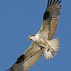 Osprey - near Olympia, Wa. Taken in 2012.
