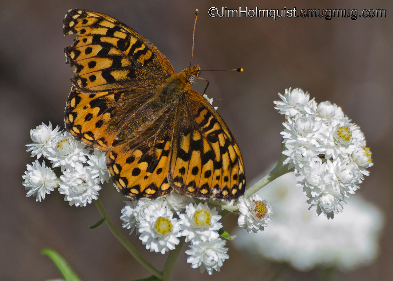 Butterfly - I believe this is a Northwestern Fritillary. I took this picture at Mima Mounds near Olympia, Wa in 2012.