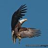 American Bald Eagle - near Olympia, Wa. Taken in 2012.