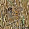 Marsh Wren - taken near Olympia, Wa.