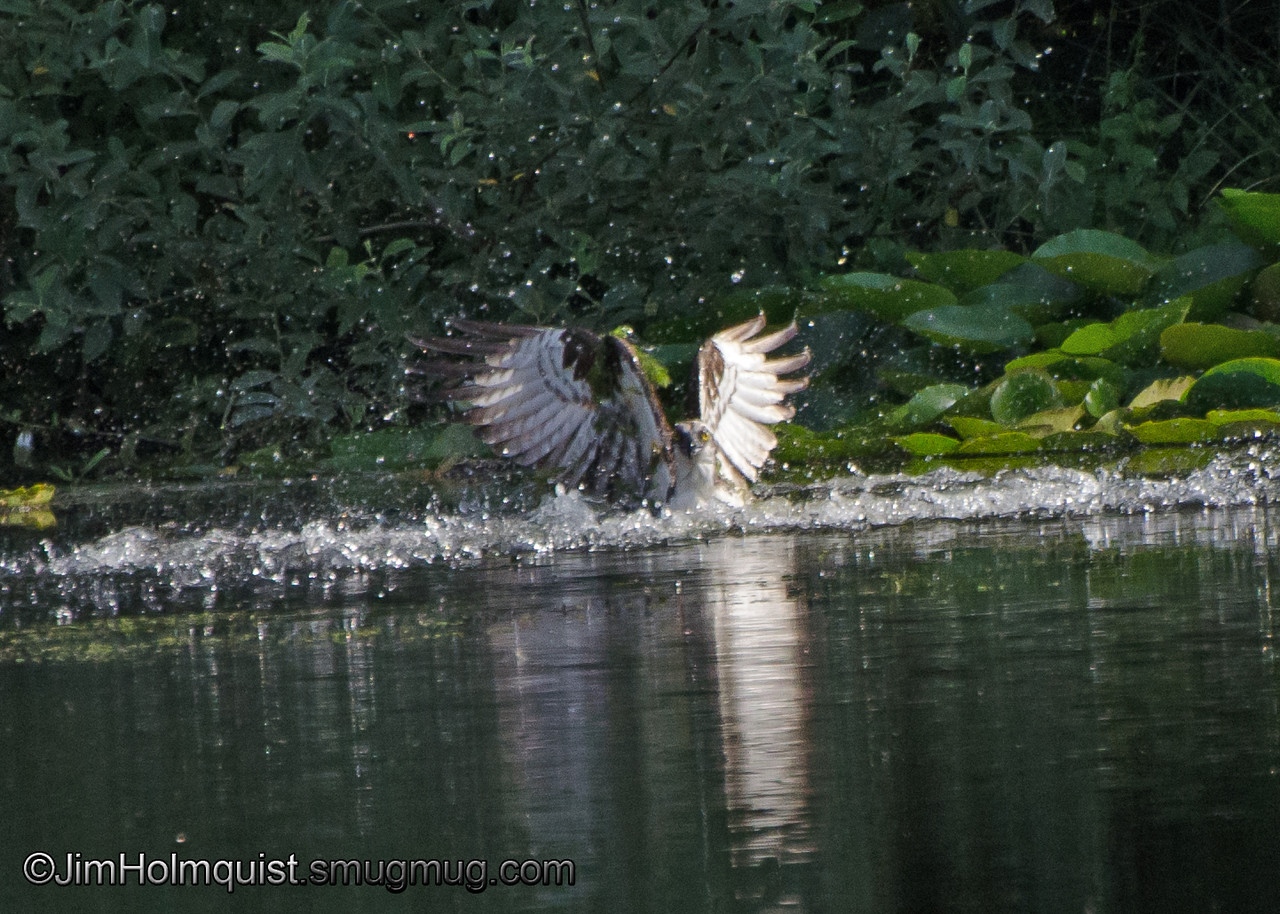 Osprey(3 of 6) - diving for a fish near Olympia, Wa. Great splash but no fish.