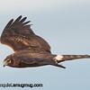 Northern Harrier - Nisqually Wildlife Refuge near Olympia, Wa. Taken in 2012.