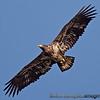 Immature Bald Eagle - taken near Olympia, Wa.  I really appreciate the comments!