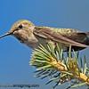 Anna's Hummingbird - taken near Olympia, Wa.  I really appreciate the comments!