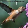 Rufous Hummingbird - at 1/8000 to freeze the action. Near Olympia, Wa