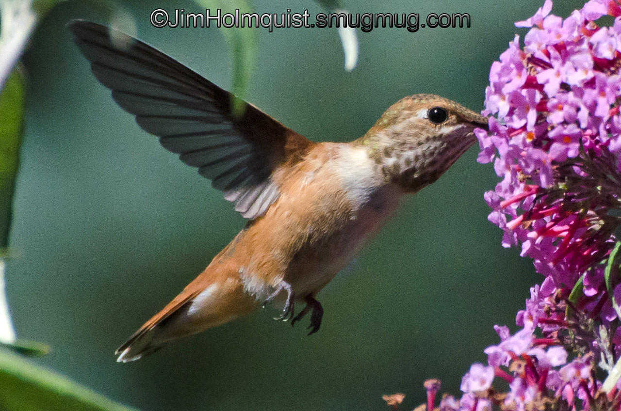 Rufous Hummingbird - at 1/8000 to freeze the action. Near Olympia, Wa