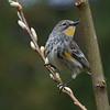 Yellow-rumped Warbler - near Olympia, Wa. Taken in 2011.