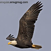 American Bald Eagle - Nisqually Wildlife Refuge near Olympia, Wa