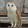 Barn Owl - near Idaho Falls, Id.
