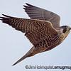 Peregrine Falcon - taken near Olympia, Wa.  I really appreciate the comments!