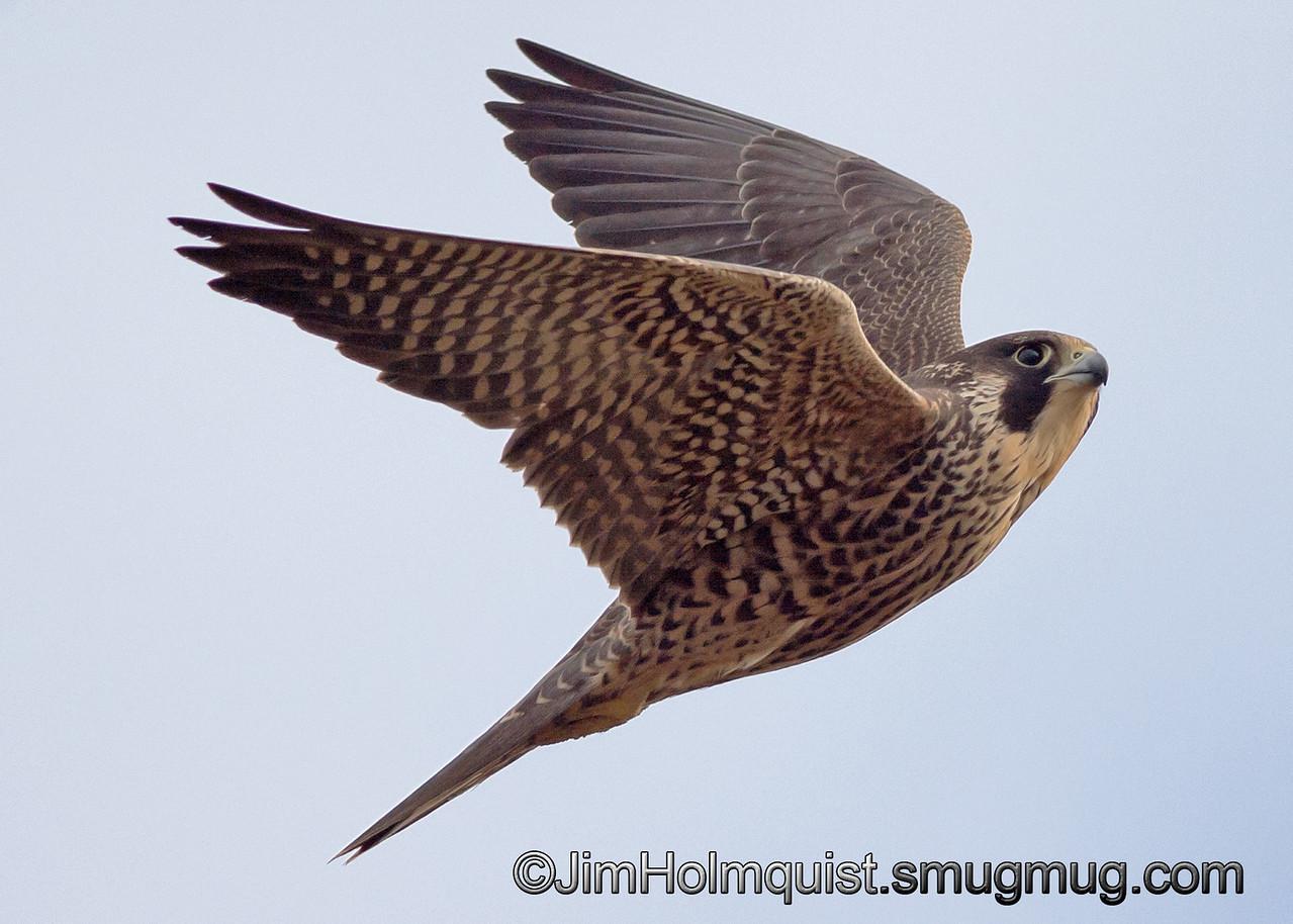 Peregrine Falcon - taken near Olympia, Wa.<br /> <br /> I really appreciate the comments!