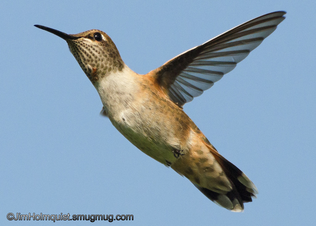 Rufous Hummingbird - in flight near Olympia, Wa