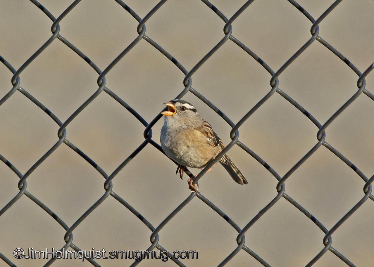 White-crowned Sparrow - taken near Olympia, Wa.