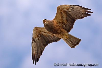 Swainson's Hawk - taken near Idaho Falls, ID.