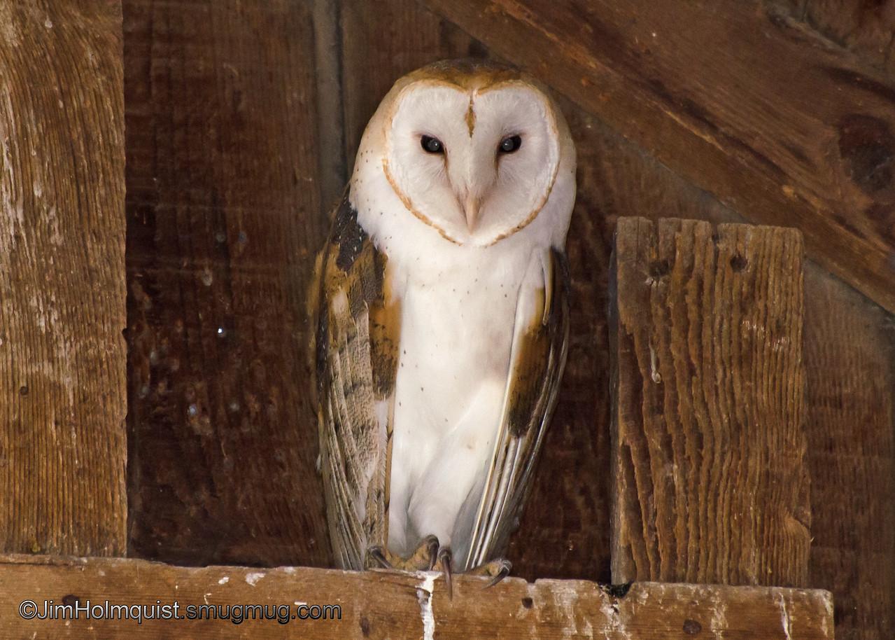Barn Owl - near Idaho Falls, Id