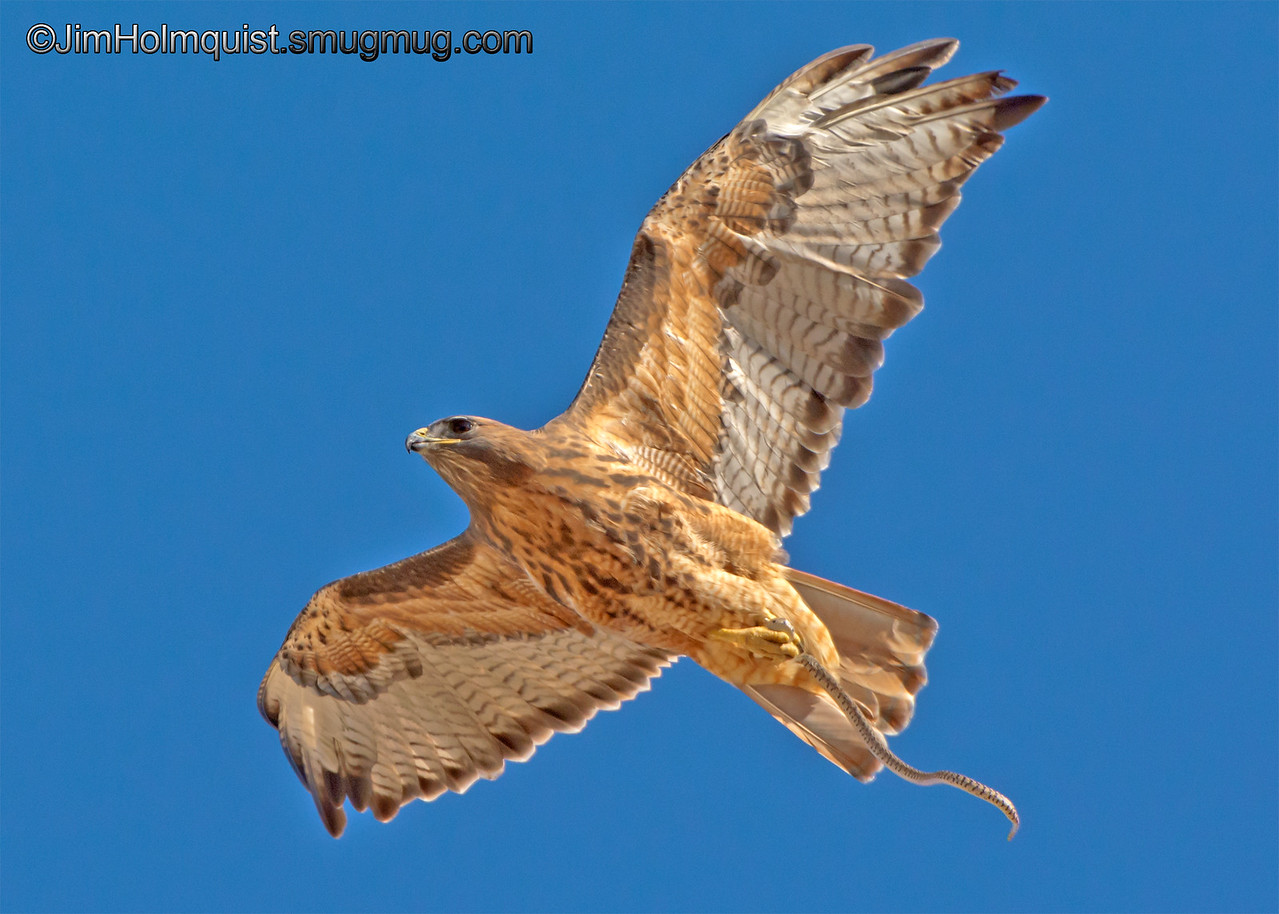Red-Tailed Hawk - a different view of the hawk with a snake. Taken in Snake River Birds of Prey Area near Kuna, Id.