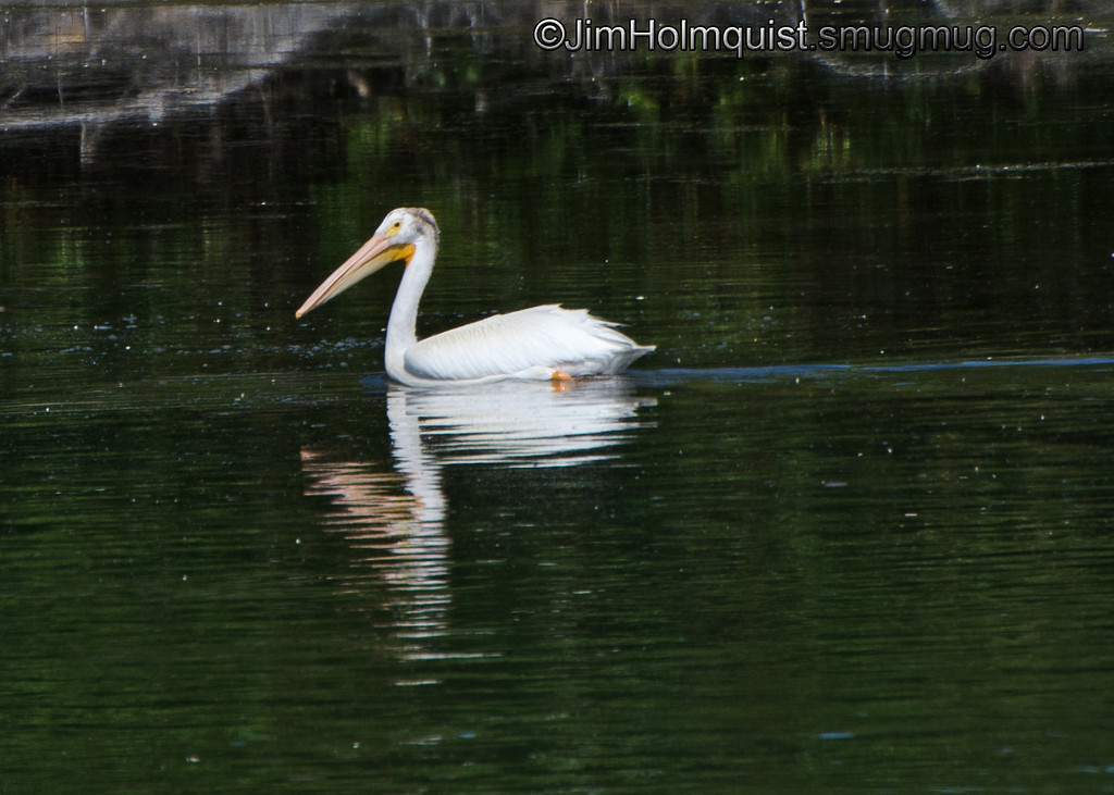 White Pelican - near Idaho Falls, Id