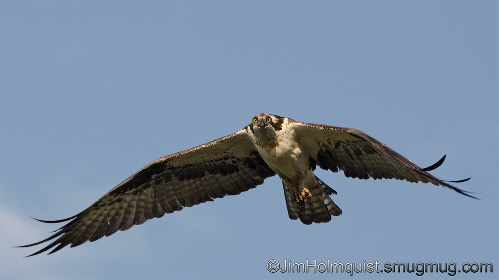 Osprey - near Idaho Falls, Id