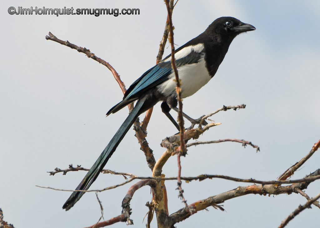 Black-billed Magpie - near Idaho Falls, Id